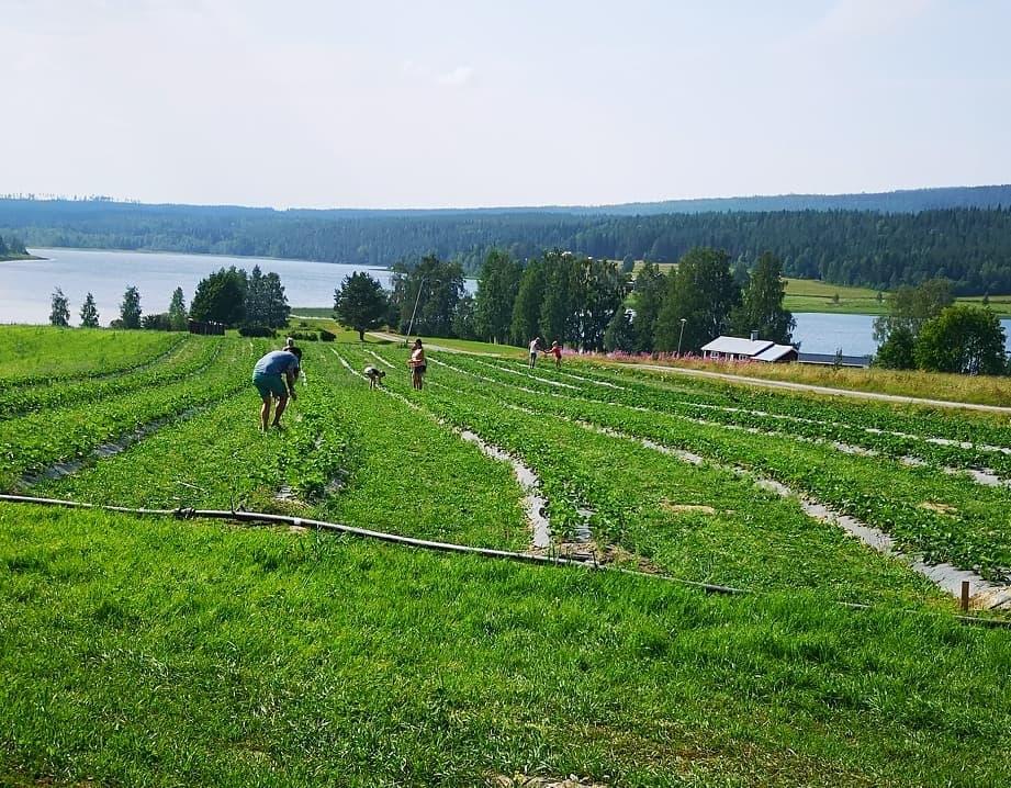 south sweden småland green field strawberry picking