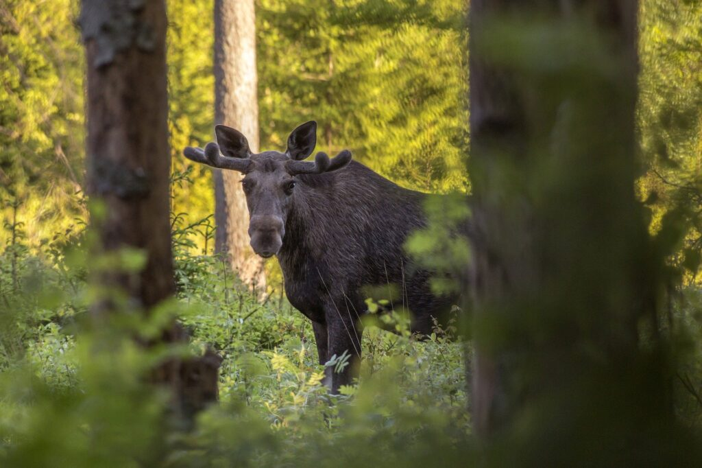 Where To See Moose In Sweden elk forest